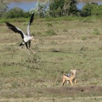 A bird and wild dog clash over who will eat the prey