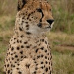 A close up of a cheetah