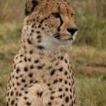 A close up of a cheetah
