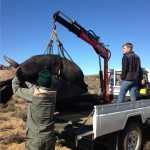 A volunteer and vet lift a buffalo on to a truck