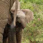 A cute baby elephant hides behind its mothers tail