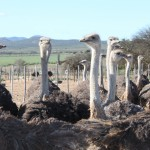 A big group of ostriches