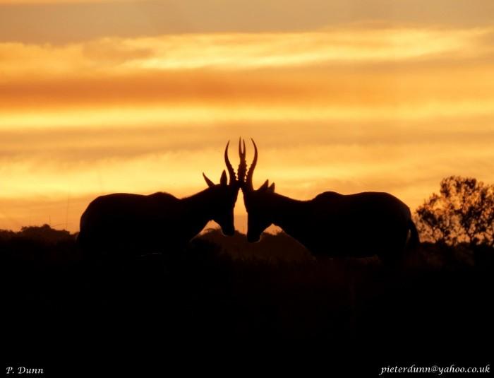 Two gazelle clash heads