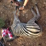 A vet trims a sedated zebra's hooves