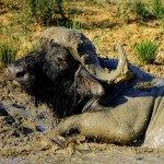 A buffalo covered in mud