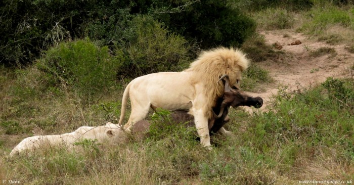 A white lion and lioness eat a buffalo they have killed