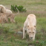 A white lion pride congregating in the green of South Africa