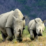 A mother rhino and a baby rhino running