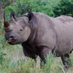 A rhino eating from a berry plant