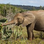 An elephant eating from a cactus plant