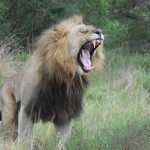 A roaring lion at Kariega