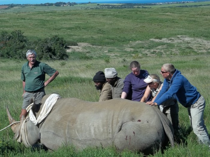 Volunteers help to treat a rhino that has been darted
