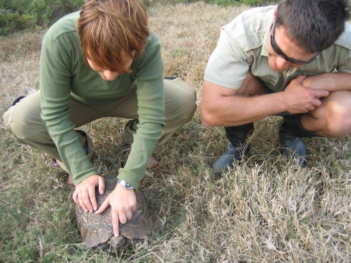 A volunteer looks at the markings on the back of a tortoise's head