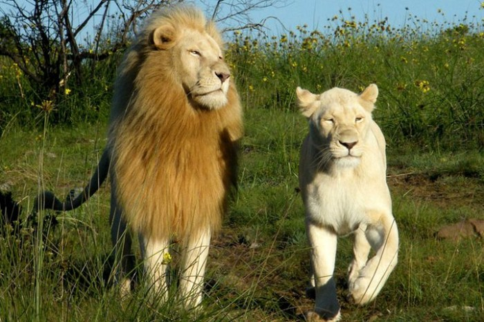 White lion's sprinting through the South Africa overgrowth