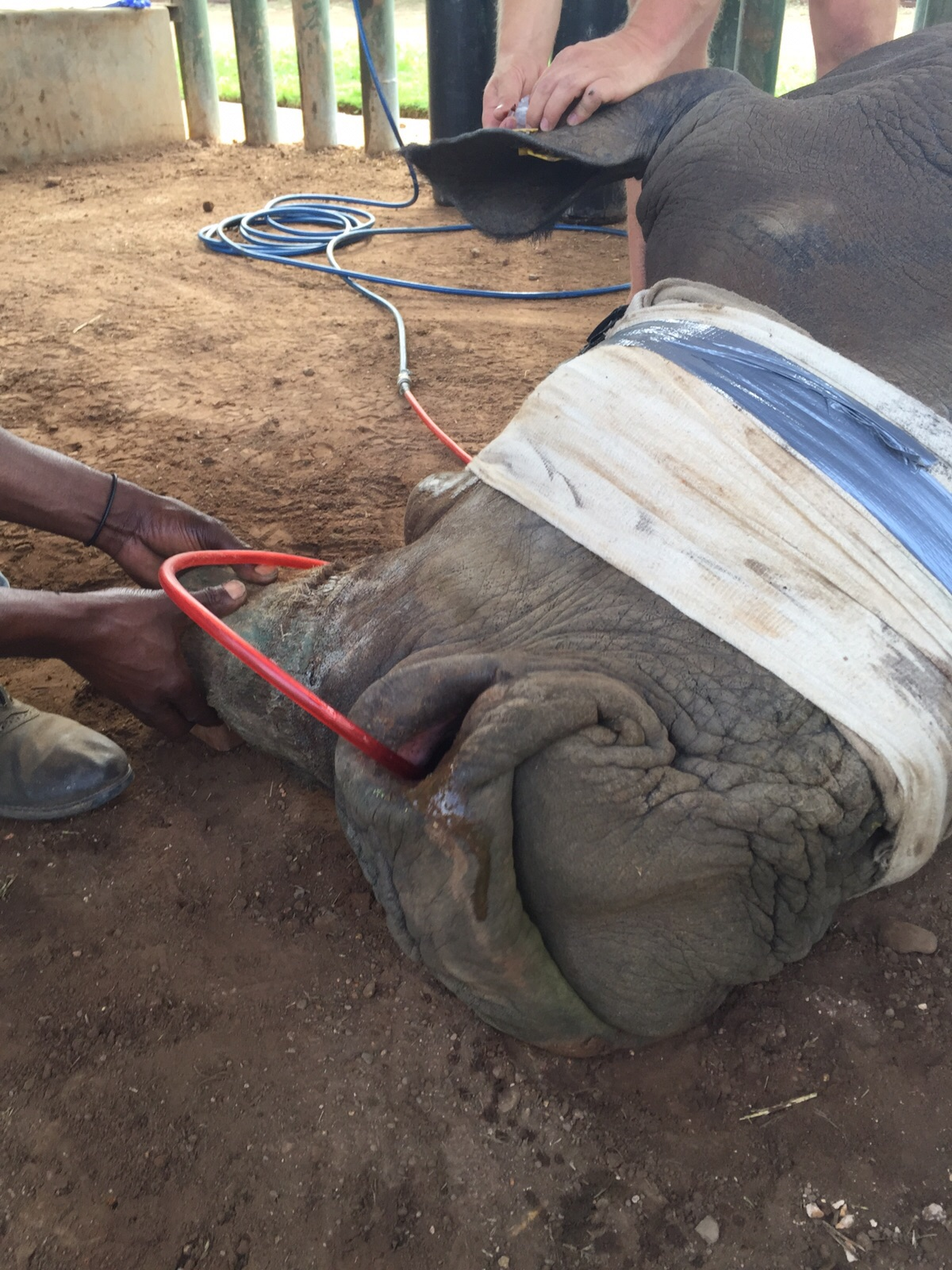 A sedated rhino receiving treatment from vets