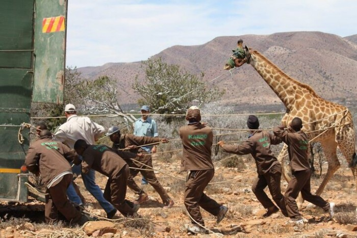 A blinded giraffe is pulled on to a truck by the karoo staff