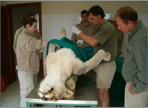 Shamwari vets and volunteers work to treat a lion