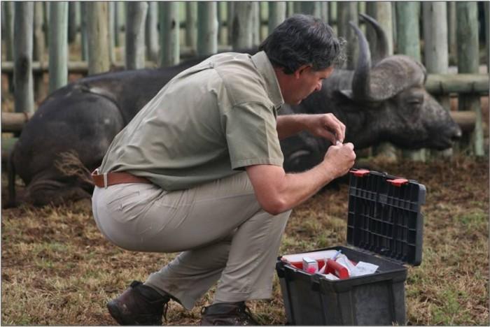 A vet nearby a resting buffalo