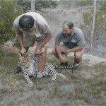 Vets look after a sedated leopard