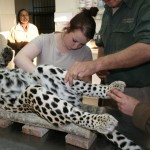 A volunteer works on treating a leopard