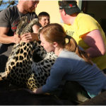 Volunteers moving leopard after it has had treatment