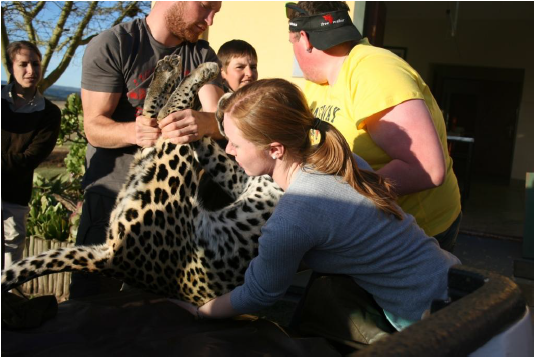 Volunteers transport a leopard