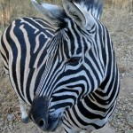 A zebra at Hoedspruit endangered species centre