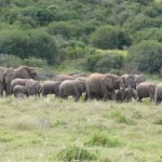A herd of elephants making their way across the Kariega game reserve