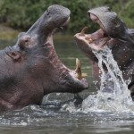 Two hippopotamuses clash in the water