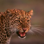 A snarling cheetah at the Kariega game reserve