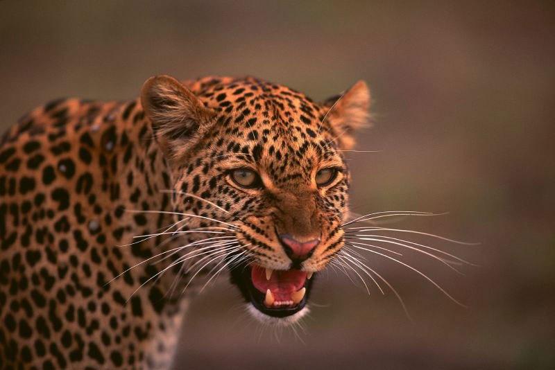 A snarling cheetah at the Kariega game reserve