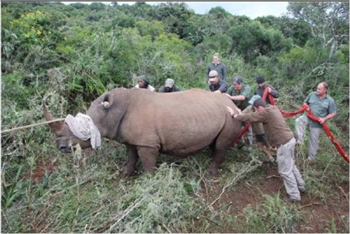 Veterinary students work with vets to try to move a rhino