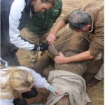 Veterinary students work to treat a rhino with a Shamwari vet