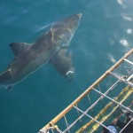 A shark swims near a shark cage as volunteers watch on