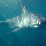 A great white shark swimming