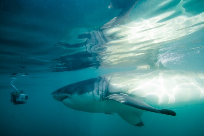 A great white shark swims up to the camera