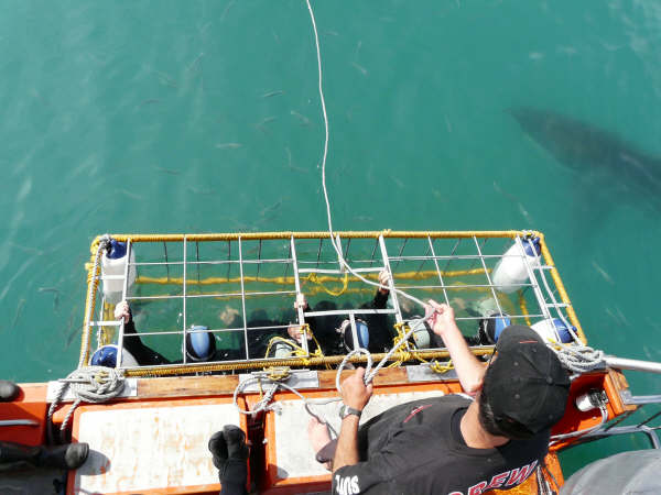 Volunteers watch on as a shark circles their cage