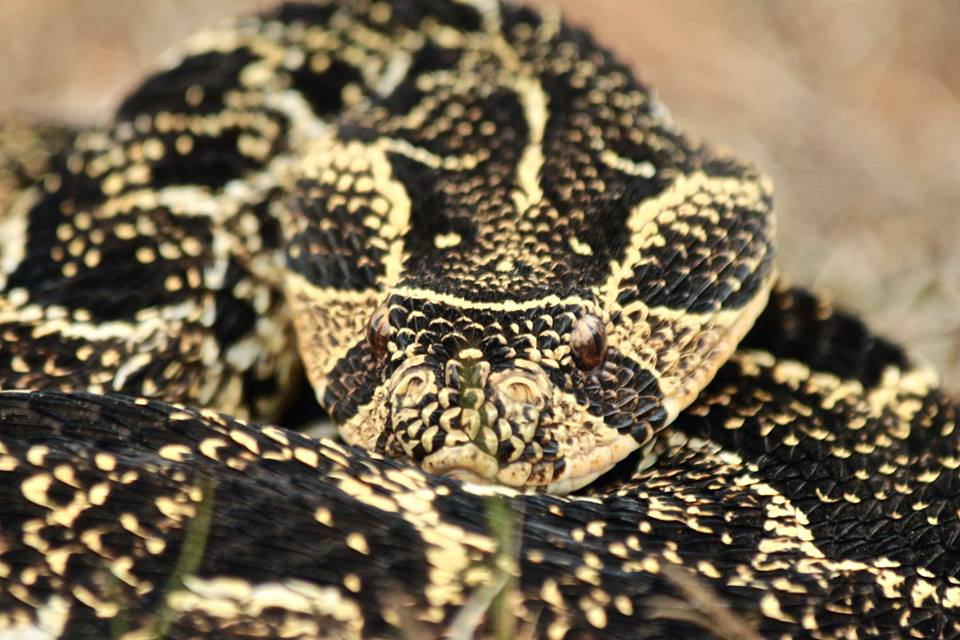 A male puff adder